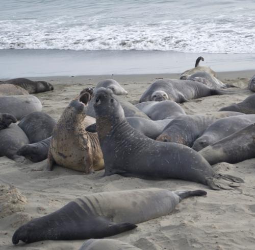 elephant seals 0502